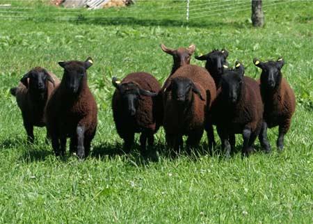 schaf 40 kilo wolle